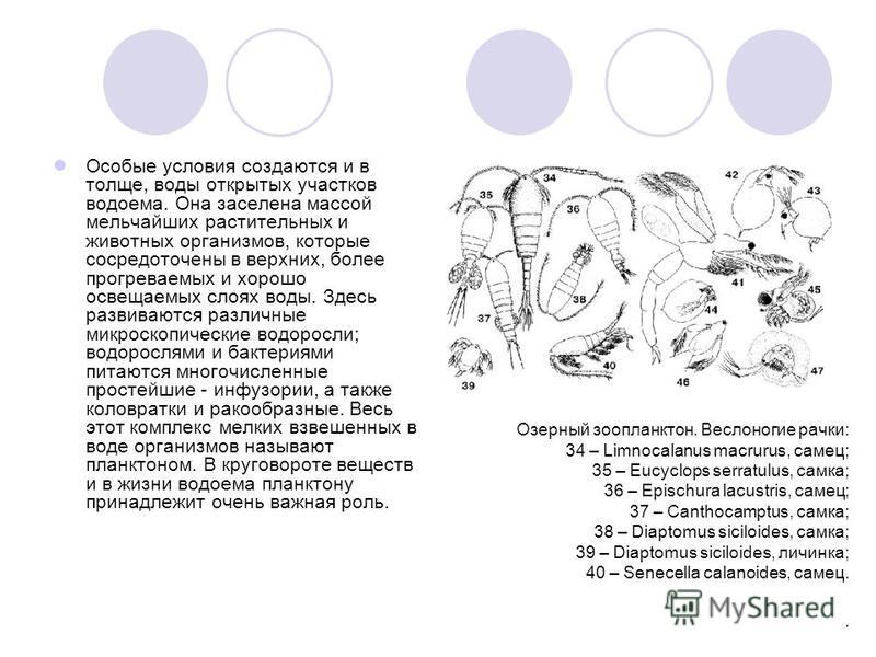 Озерный зоопланктон. Веслоногие рачки: 34 – Limnocalanus macrurus, самец; 35 – Eucyclops serratulus, самка; 36 – Epischura lacustris, самец; 37 – Canthocamptus, самка; 38 – Diaptomus siciloides, самка; 39 – Diaptomus siciloides, личинка; 40 – Senecel