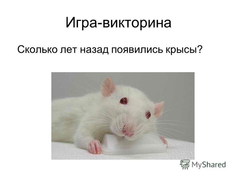 Игра-викторина Сколько лет назад появились крысы?
