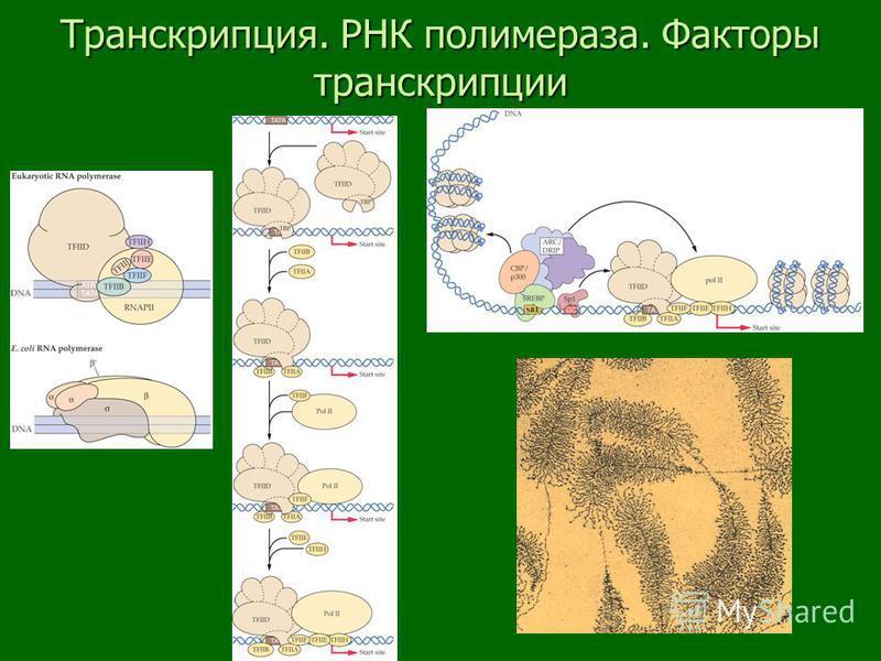 Транскрипция. РНК полимераза. Факторы транскрипции
