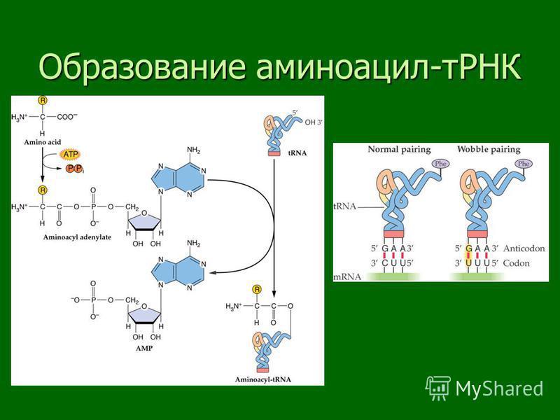 Образование аминоацил-тРНК