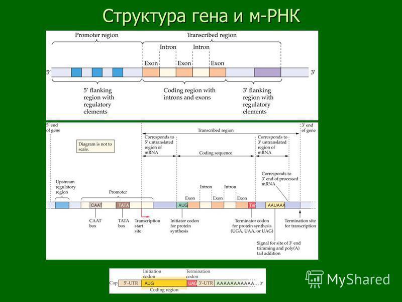 Структура гена и м-РНК