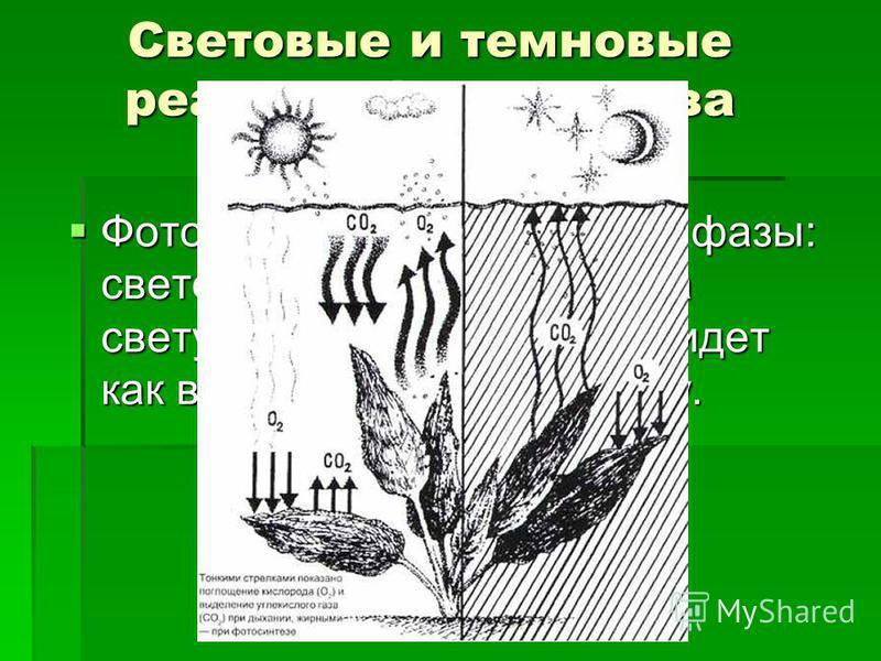 Световые и темновые реакции фотосинтеза Фотосинтез протекает в две фазы: световую, идущую только на свету, и темновую, которая идет как в темноте, так и на свету. Фотосинтез протекает в две фазы: световую, идущую только на свету, и темновую, которая