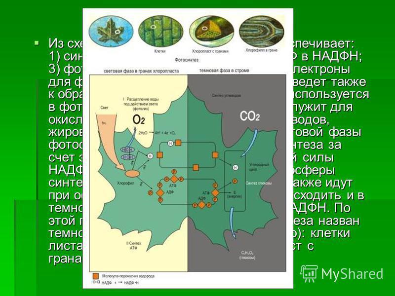 Из схемы видно, что энергия света обеспечивает: 1) синтез АТФ; 2) восстановление НАДФ в НАДФН; 3) фотолиз воды, который поставляет электроны для фотосистем I и II; 4) фотолиз воды ведет также к образованию кислорода, который не используется в фотосин