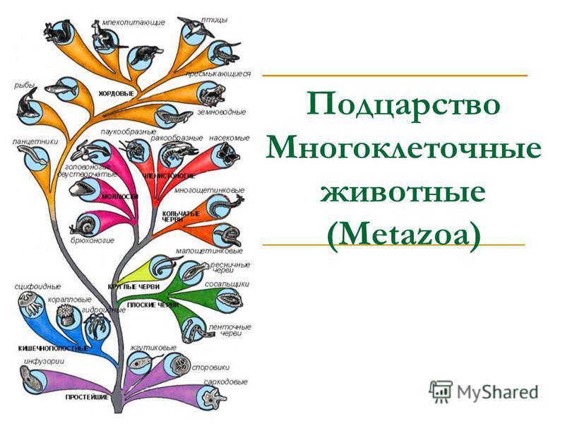 Подцарство Многоклеточные животные (Metazoa)
