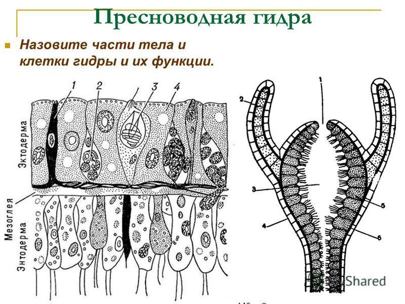 Пресноводная гидра Назовите части тела и клетки гидры и их функции.