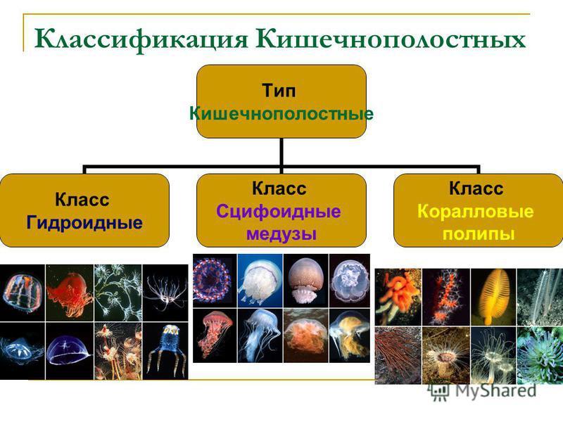 Классификация Кишечнополостных Тип Кишечнополостные Класс Гидроидные Класс Сцифоидные медузы Класс Коралловые полипы