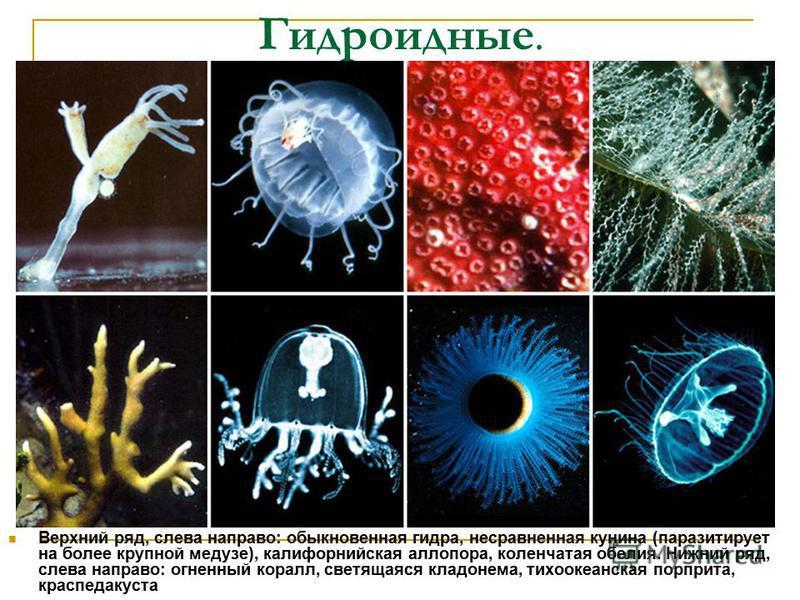 Гидроидные. Верхний ряд, слева направо: обыкновенная гидра, несравненная кунина (паразитирует на более крупной медузе), калифорнийская алло пора, коленчатая обилия. Нижний ряд, слева направо: огненный коралл, светящаяся кладонема, тихоокеанская порпр