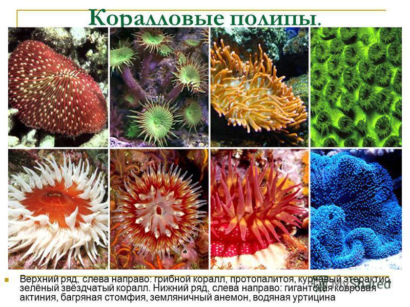Коралловые полипы. Верхний ряд, слева направо: грибной коралл, протопалитоя, курчавый этерактис, зелёный звёздчатый коралл. Нижний ряд, слева направо: гигантская ковровая актиния, багряная стомфия, земляничный анемон, водяная уртицина
