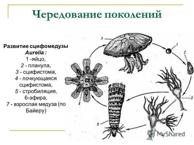 Чередование поколений Развитие сцифомедузы Aurelia : 1 -яйцо, 2 - планула, 3 - сцифистома, 4 - почкующаяся сцифистома, 5 - стробиляция, 6-эфира, 7 - взрослая медуза (по Байеру)