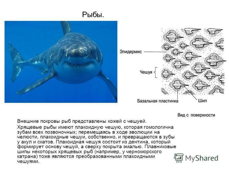 Рыбы. Внешние покровы рыб представлены кожей с чешуей. Хрящевые рыбы имеют плакоидную чешую, которая гомологична зубам всех позвоночных; перемещаясь в ходе эволюции на челюсти, плакоидные чешуи, собственно, и превращаются в зубы у акул и скатов. Плак