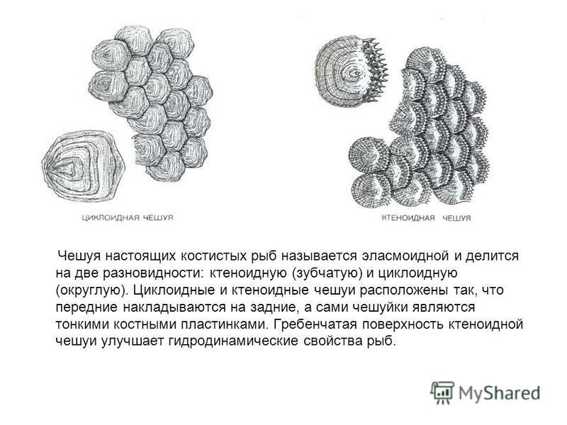 Чешуя настоящих костистых рыб называется эласмоидной и делится на две разновидности: ктеноидную (зубчатую) и циклоидную (округлую). Циклоидные и ктеноидные чешуи расположены так, что передние накладываются на задние, а сами чешуйки являются тонкими к
