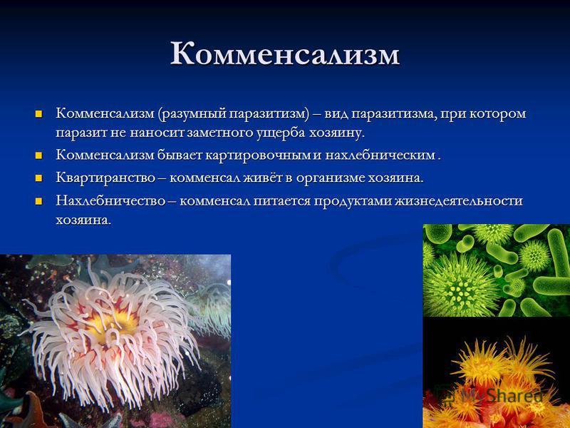 Комменсализм Комменсализм (разумный паразитизм) – вид паразитизма, при котором паразит не наносит заметного ущерба хозяину. Комменсализм (разумный паразитизм) – вид паразитизма, при котором паразит не наносит заметного ущерба хозяину. Комменсализм бы