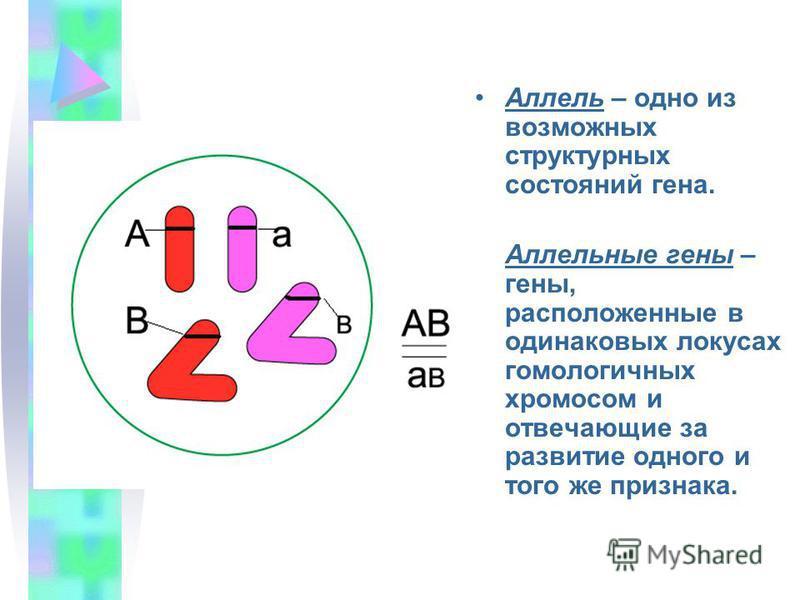 Аллель – одно из возможных структурных состояний гена. Аллельные гены – гены, расположенные в одинаковых локусах гомологичных хромосом и отвечающие за развитие одного и того же признака.