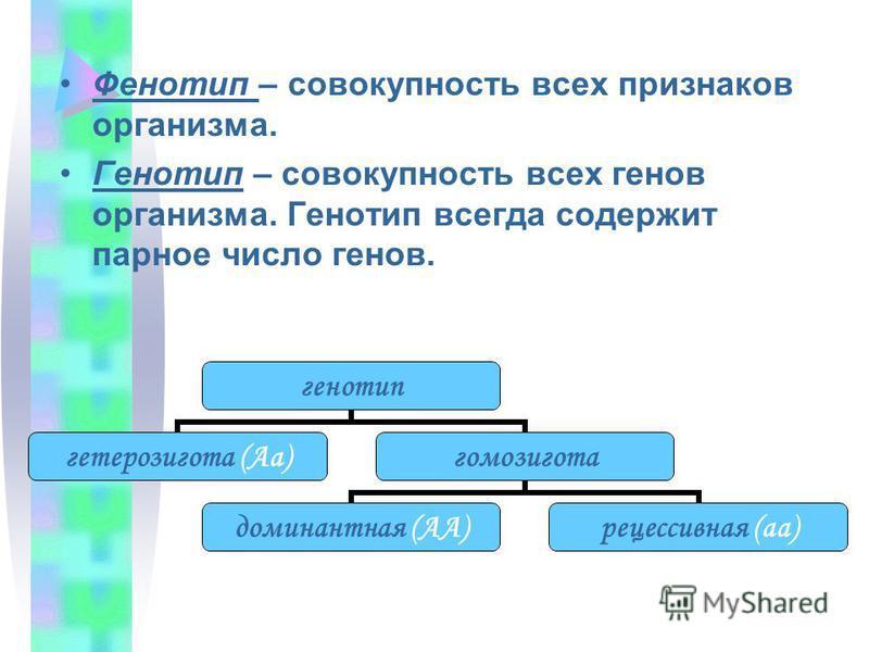 Фенотип – совокупность всех признаков организма. Генотип – совокупность всех генов организма. Генотип всегда содержит парное число генов. генотип гетерозигота (Аа) гомозигота доминантная (АА) рецессивная (а)
