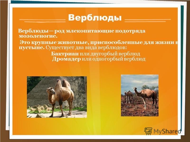 Верблюды Верблюды род млекопитающие подотряда мозоленогие. Это крупные животные, приспособленные для жизни в пустыне. Существует два вида верблюдов: Бактриан или двугорбый верблюд Дромадер или одногорбый верблюд