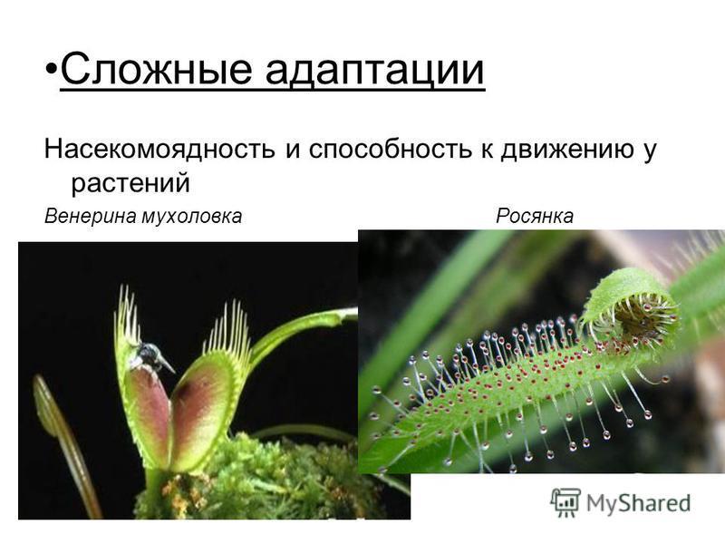 Сложные адаптации Насекомоядность и способность к движению у растений Венерина мухоловка Росянка