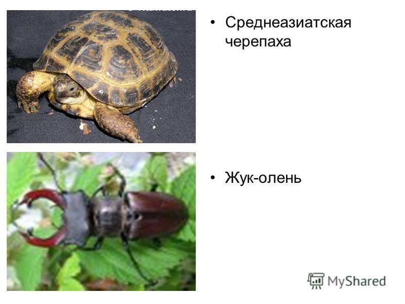 Среднеазиатская черепаха Жук-олень