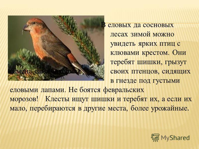 В еловых да сосновых лесах зимой можно увидеть ярких птиц с клювами крестом. Они теребят шишки, грызут семена сами и кормят своих птенцов, сидящих в гнезде под густыми еловыми лапами. Не боятся февральских морозов! Клесты ищут шишки и теребят их, а е