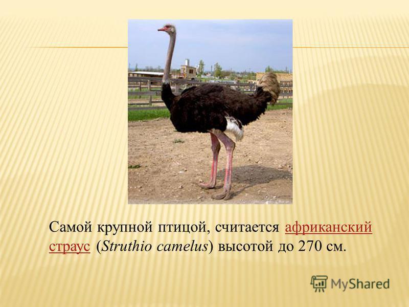 Самой крупной птицей, считается африканский страус (Struthio camelus) высотой до 270 см.африканский страус