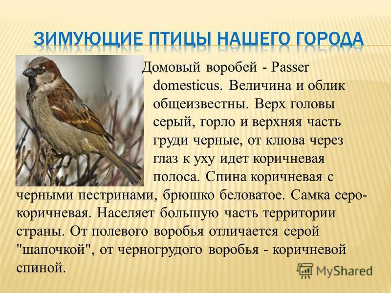 Домовый воробей - Passer domesticus. Величина и облик общеизвестны. Верх головы серый, горло и верхняя часть груди черные, от клюва через глаз к уху идет коричневая полоса. Спина коричневая с черными пестринами, брюшко беловатое. Самка серо- коричнев