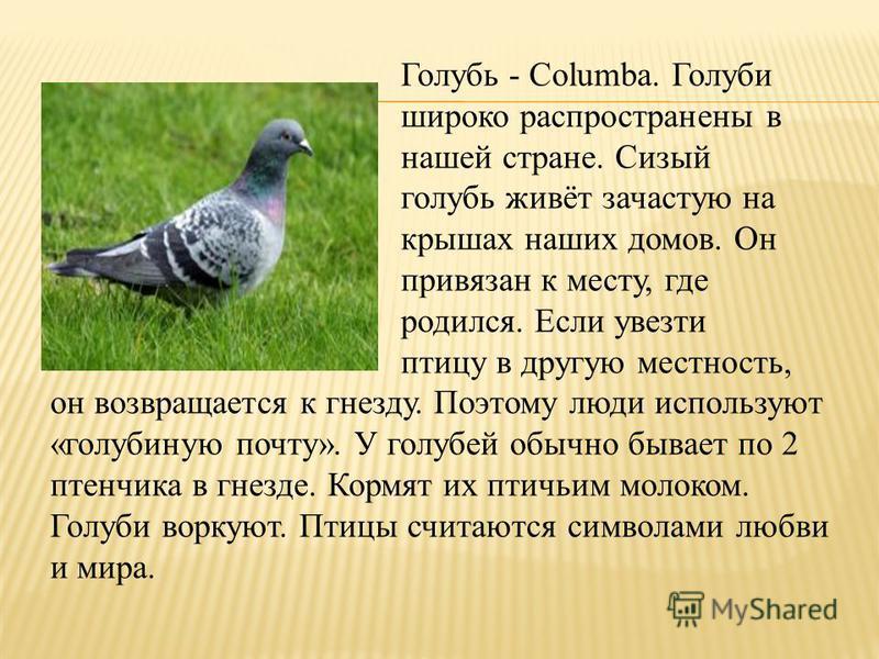 Голубь - Columba. Голуби широко распространены в нашей стране. Сизый голубь живёт зачастую на крышах наших домов. Он привязан к месту, где родился. Если увезти птицу в другую местность, он возвращается к гнезду. Поэтому люди используют «голубиную поч