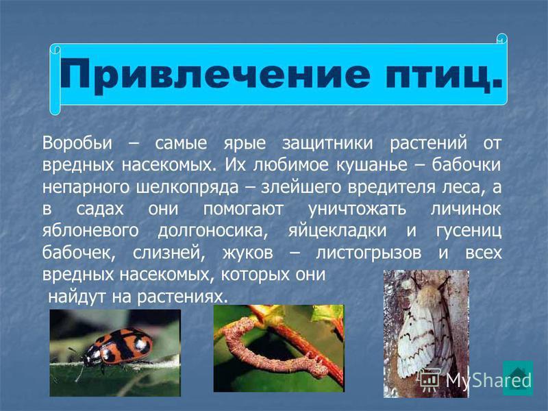 Привлечение птиц. Воробьи – самые ярые защитники растений от вредных насекомых. Их любимое кушанье – бабочки непарного шелкопряда – злейшего вредителя леса, а в садах они помогают уничтожать личинок яблоневого долгоносика, яйцекладки и гусениц бабоче