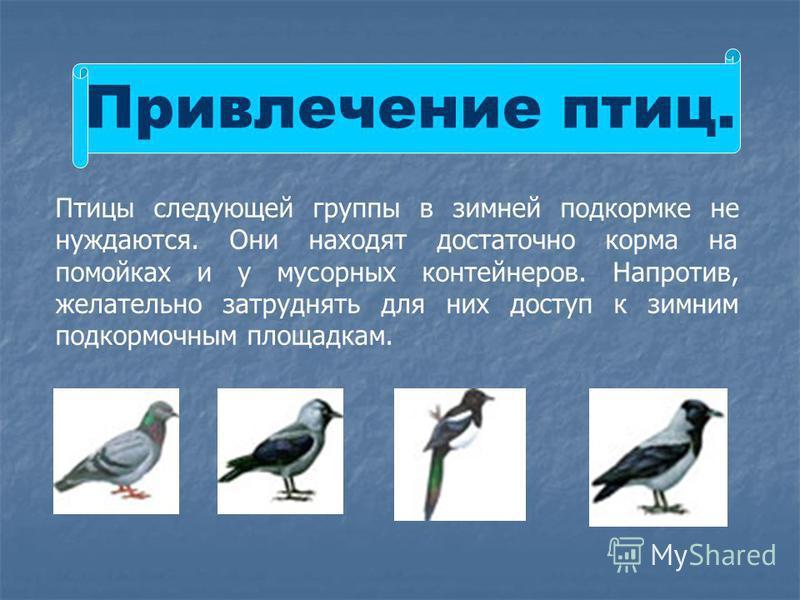 Привлечение птиц. Птицы следующей группы в зимней подкормке не нуждаются. Они находят достаточно корма на помойках и у мусорных контейнеров. Напротив, желательно затруднять для них доступ к зимним подкормочным площадкам.