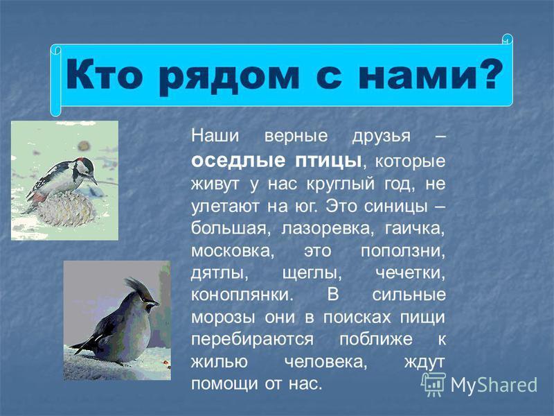 Кто рядом с нами? Наши верные друзья – оседлые птицы, которые живут у нас круглый год, не улетают на юг. Это синицы – большая, лазоревка, гаичка, московка, это поползни, дятлы, щеглы, чечетки, коноплянки. В сильные морозы они в поисках пищи перебираю