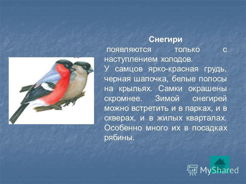 Снегири появляются только с наступлением холодов. У самцов ярко-красная грудь, черная шапочка, белые полосы на крыльях. Самки окрашены скромнее. Зимой снегирей можно встретить и в парках, и в скверах, и в жилых кварталах. Особенно много их в посадках