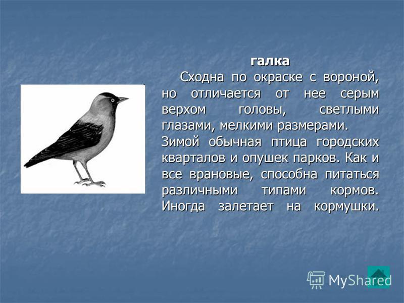 галка Сходна по окраске с вороной, но отличается от нее серым верхом головы, светлыми глазами, мелкими размерами. Сходна по окраске с вороной, но отличается от нее серым верхом головы, светлыми глазами, мелкими размерами. Зимой обычная птица городски