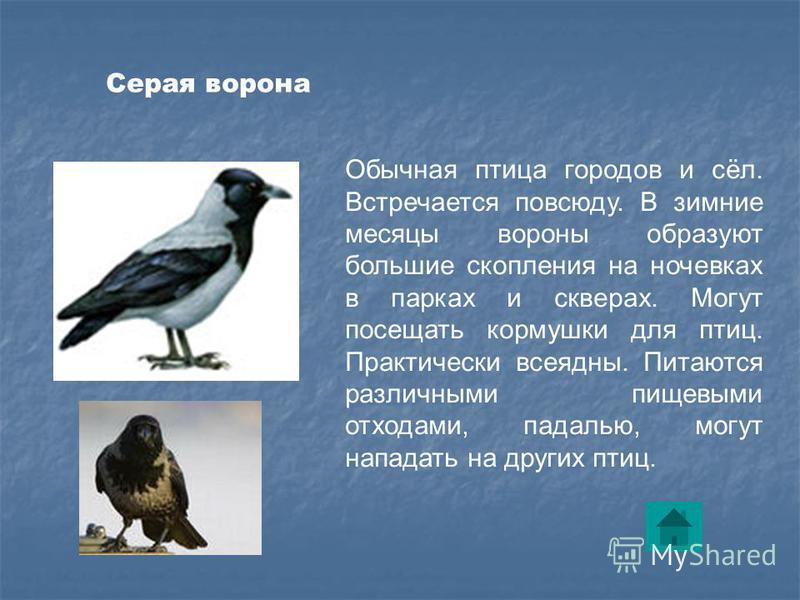 Обычная птица городов и сёл. Встречается повсюду. В зимние месяцы вороны образуют большие скопления на ночевках в парках и скверах. Могут посещать кормушки для птиц. Практически всеядны. Питаются различными пищевыми отходами, падалью, могут нападать