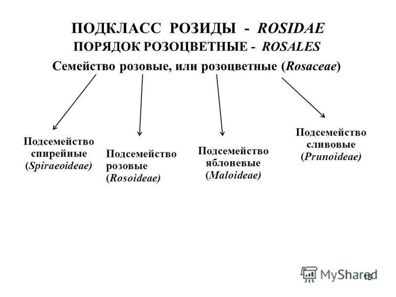 ПОДКЛАСС РОЗИДЫ - ROSIDAE ПОРЯДОК РОЗОЦВЕТНЫЕ - ROSALES Семейство розовые, или розоцветные (Rosaceae) Подсемейство спирейные (Spiraeoideae) Подсемейство розовые (Rosoideae) Подсемейство яблоневые (Maloideae) Подсемейство сливовые (Prunoideae) 15