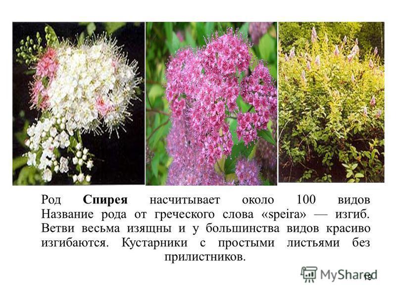 Род Спирея насчитывает около 100 видов Название рода от греческого слова «speira» изгиб. Ветви весьма изящны и у большинства видов красиво изгибаются. Кустарники с простыми листьями без прилистников. 19