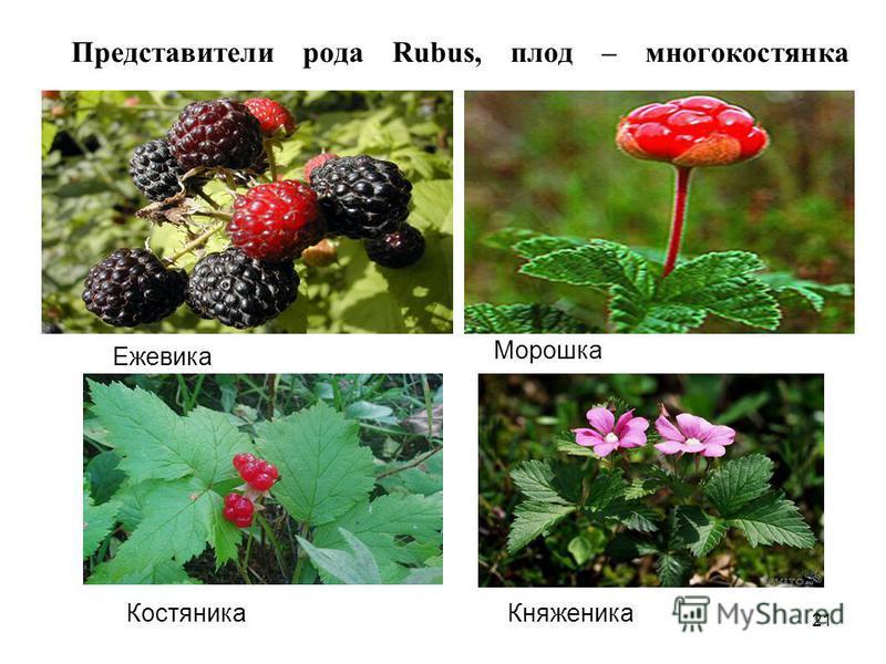 Представители рода Rubus, плод – многокостянка Княженика Морошка Костяника Ежевика 21