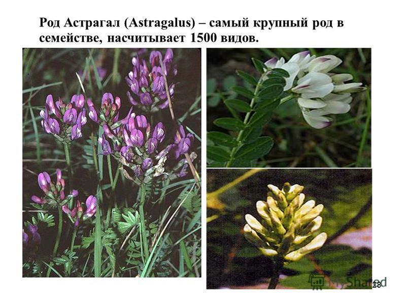 Род Астрагал (Astragalus) – самый крупный род в семействе, насчитывает 1500 видов. 28