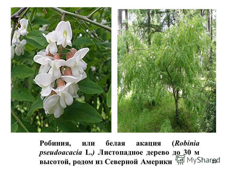 Робиния, или белая акация (Robinia pseudoacacia L.) Листопадное дерево до 30 м высотой, родом из Северной Америки 29