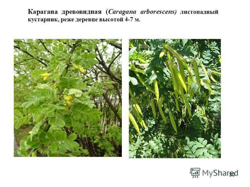Карагана древовидная (Caragana arborescens ) листопадный кустарник, реже деревце высотой 4-7 м. 30