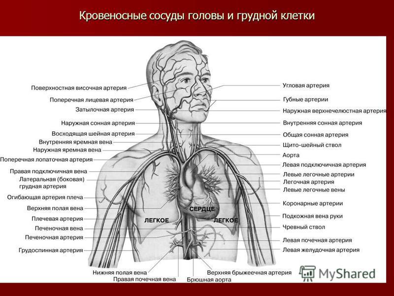 Кровеносные сосуды головы и грудной клетки