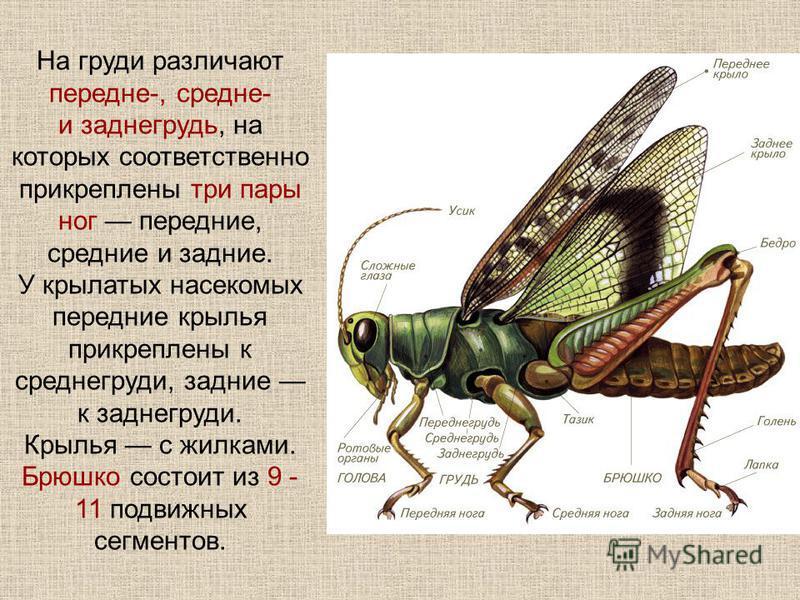 На груди различают передне-, средне- и заднегрудь, на которых соответственно прикреплены три пары ног передние, средние и задние. У крылатых насекомых передние крылья прикреплены к среднегруди, задние к заднегруди. Крылья с жилками. Брюшко состоит из