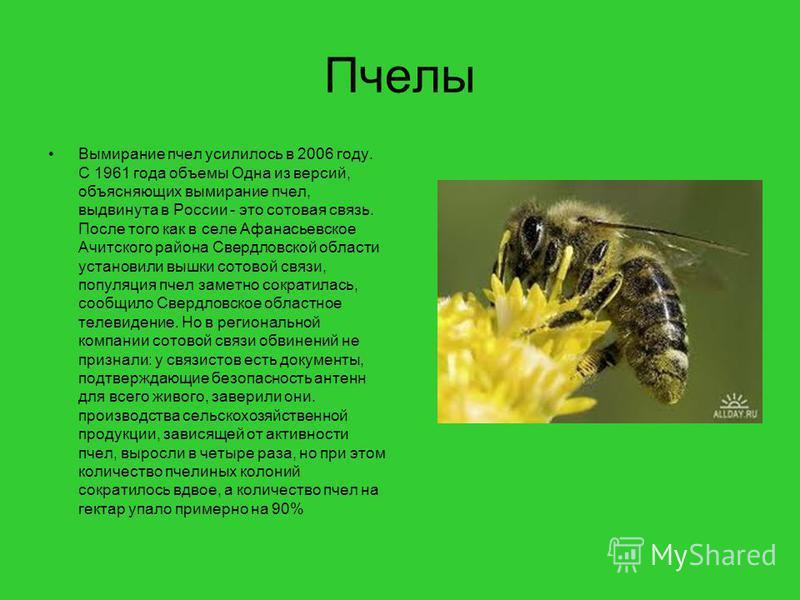 Пчелы Вымирание пчел усилилось в 2006 году. С 1961 года объемы Одна из версий, объясняющих вымирание пчел, выдвинута в России - это сотовая связь. После того как в селе Афанасьевское Ачитского района Свердловской области установили вышки сотовой связ