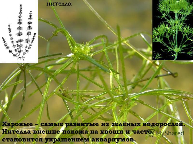 Харовые – самые развитые из зелёных водорослей. Нителла внешне похожа на хвощи и часто становится украшением аквариумов. нателла