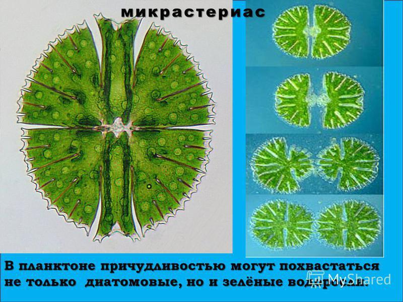 В планктоне причудливостью могут похвастаться не только диатомовые, но и зелёные водоросли. микрастериас