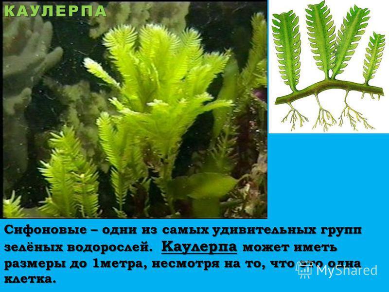 Сифоновые – одни из самых удивительных групп зелёных водорослей. Каулерпа может иметь размеры до 1 метра, несмотря на то, что это одна клетка. КАУЛЕРПА