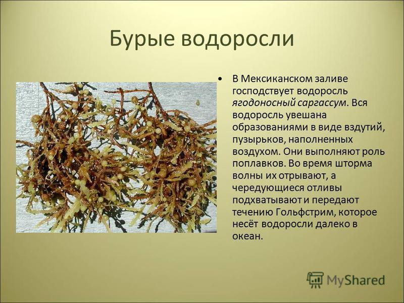 Бурые водоросли В Мексиканском заливе господствует водоросль ягодоносный саргассум. Вся водоросль увешана образованиями в виде вздутий, пузырьков, наполненных воздухом. Они выполняют роль поплавков. Во время шторма волны их отрывают, а чередующиеся о