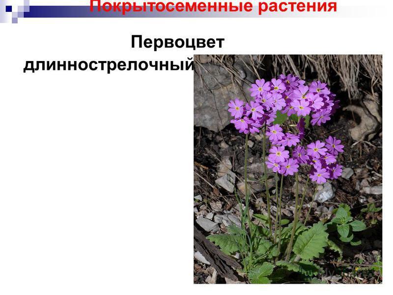 Первоцвет длинно стрелочный Покрытосеменные растения