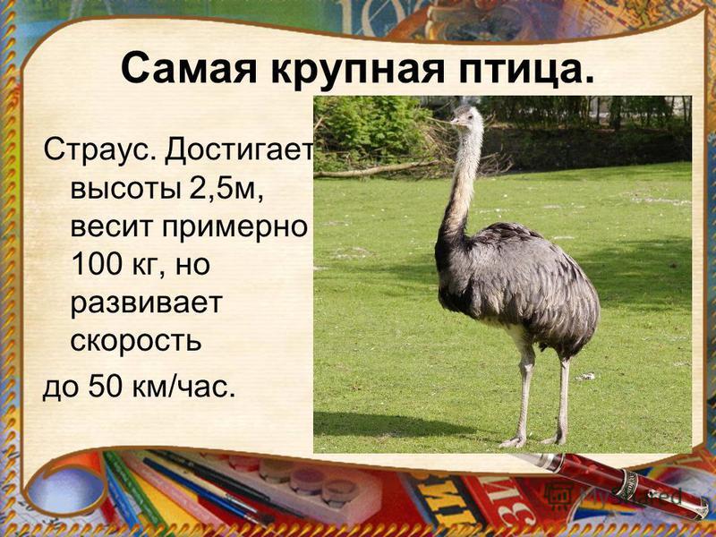 Самая крупная птица. Страус. Достигает высоты 2,5 м, весит примерно 100 кг, но развивает скорость до 50 км/час.