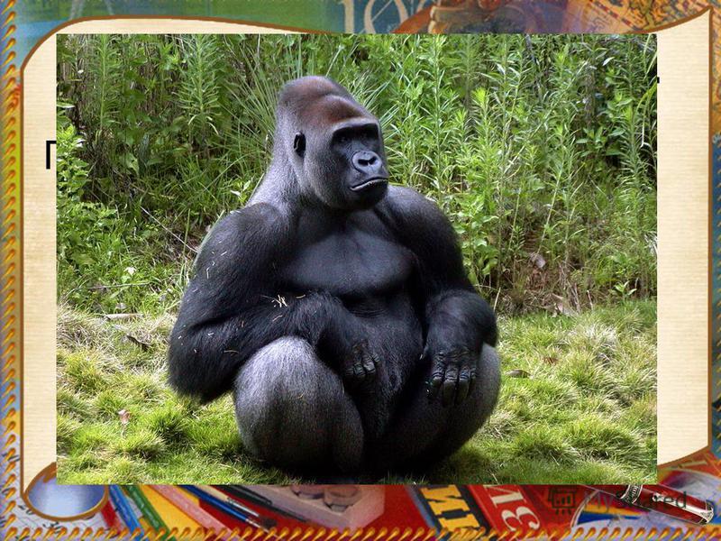 Самые большие обезьяны. Горилла. Длина тела взрослого самца может достигать 2 м, а вес 270 кг.