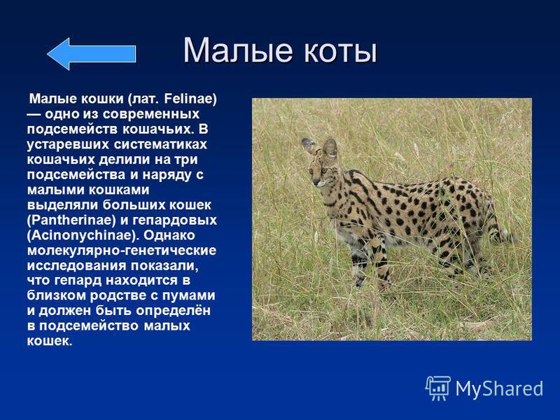 Малые коты Малые кошки (лат. Felinae) одно из современных подсемейств кошачьих. В устаревших систематиках кошачьих делили на три подсемейства и наряду с малыми кошками выделяли больших кошек (Pantherinae) и гепардовых (Acinonychinae). Однако молекуля