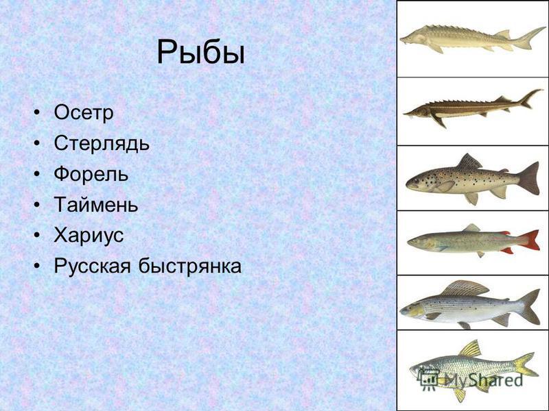 Рыбы Осетр Стерлядь Форель Таймень Хариус Русская быстрянка