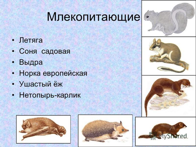 Млекопитающие Летяга Соня садовая Выдра Норка европейская Ушастый ёж Нетопырь-карлик